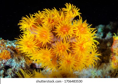 Underwater bouquet. Corals species Dendrophyllia resemble beautiful yellow flowers. During the day, their tentacles are hidden inside the polyps. Night dive.