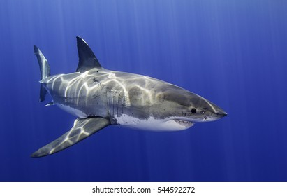 Underwater close up view of a great white shark swimming near the surface at Guadalupe Island Mexico.