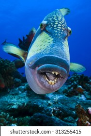 UNDERWATER CLOSE-UP FACE VIEW OF TRIGGERFISH ON CORAL REEF