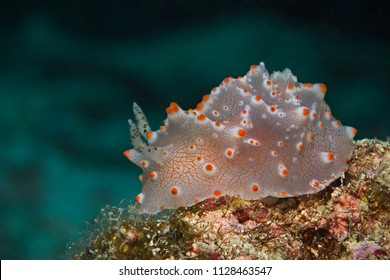 Underwater close-up photography of a batangas halgerda nudibranch. Divesite: Pulau Bangka (North Sulawesi/Indonesia)