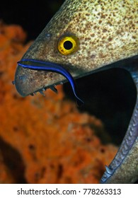 Underwater close-up photography of a moray eel with a cleaner fish. Divesite: Pulau Bangka (North Sulawesi/Indonesia)