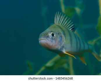 Underwater close-up photography of a Perch, Flussbarsch (Perca fluviatilis)