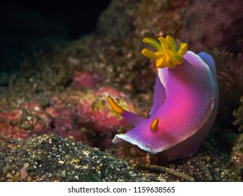 Underwater close-up photography of a pink dorid nudibranch. Divesite: Pulau Bangka (North Sulawesi/Indonesia)