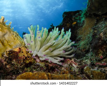 Underwater Colorful Dancing Reef Anemona