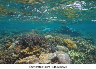 Underwater coral reef below water surface with a leopard coral grouper and sergeant major fish, Pacific ocean, New Caledonia, Oceania