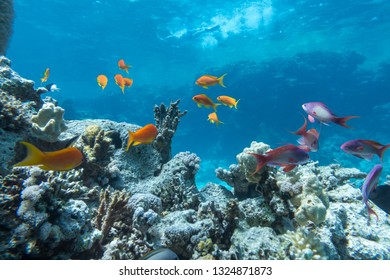 Underwater coral reef with group of tropical fish anthias, Red sea resort concept, Egypt