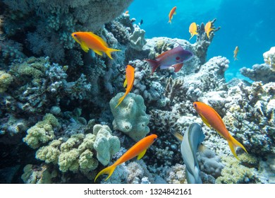 Underwater coral reef with tropical fish anthias, Red sea resort concept, Egypt