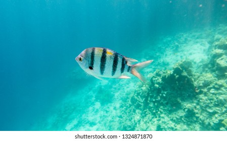 Underwater coral reef with tropical fish Sergeant major, Abudefduf vaigiensis, Red sea resort concept, Egypt