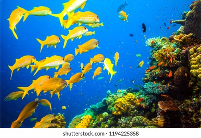 Underwater coral yellow fish shoal view. Underwater world coral fishes scene. Yellow coral fish shoal underwater. Underwater world coral fishes view
