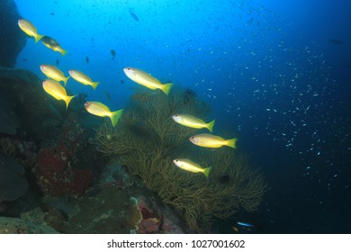 Underwater fish. Snapper fish school on coral reef