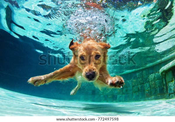 Underwater funny photo of golden labrador retriever puppy in swimming pool play with fun - jumping, diving deep down. Actions, training games with family pets and popular dog breeds on summer vacation
