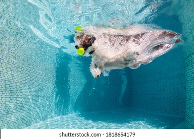 Underwater funny photo of jack russell terrier puppy playing with fun in swimming pool - jump, dive to fetch ball. Activities, training classes with family pets. Popular dog breeds on summer vacation.