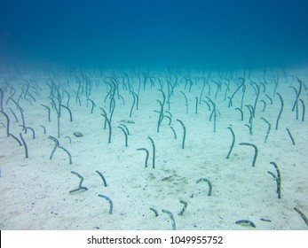 Underwater garden eels sticking their heads out of sand galapagos islands ecuador