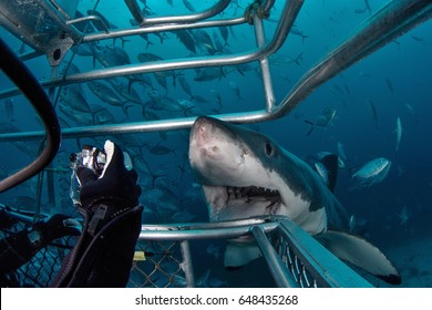 Underwater with Great White Shark