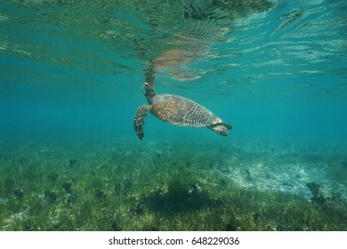 Underwater a green sea turtle, Chelonia mydas, breathes to the sea surface, south Pacific ocean, lagoon of Grande Terre island, New Caledonia
