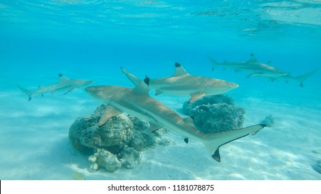 UNDERWATER: A group of blacktip sharks roams around the breathtaking emerald colored ocean. Spectacular underwater view of five sharks swimming near a white sand beaches of remote tropical island.
