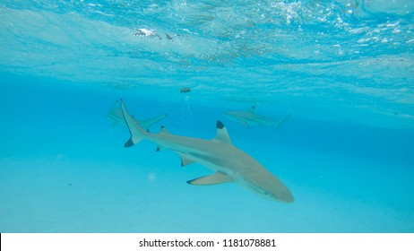 UNDERWATER: A group of blacktip sharks swims around the vast turquoise ocean. Spectacular shot of adult sharks roaming around emerald colored exotic sea. Cinematic shot of sharks swimming near beach.