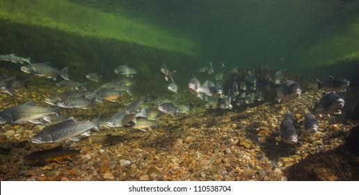 Underwater image of arctic chars (Salvelinus alpinus) in clear water river, Greenland