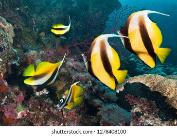 Underwater image of coral reef and School of Butterfly Fish