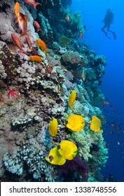 Underwater image of coral reef with School of Masked Butterfly Fish and diver.