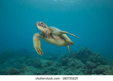 Underwater Image of a Hawaiian Green Sea Turtle