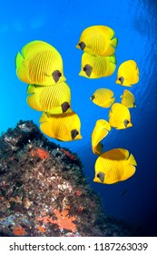 Underwater image of reef and School of Masked Butterfly Fish