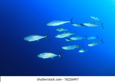 Underwater Image of School of Dogtooth Tuna Fish in the Sea