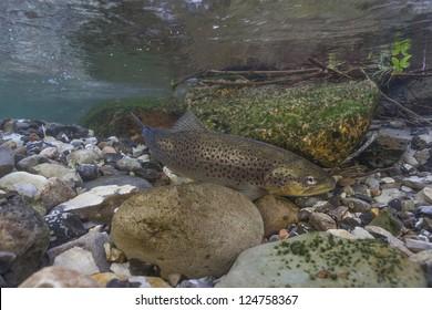 Underwater image of sea trout (Salmo trutta) in small creek