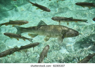 Underwater image of trout fish in the green water of Plitvice lake (Plitvicka jezera) natural national park, Croatia