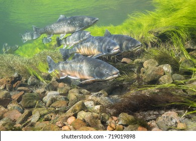 Underwater images of arctic char in clear water river Greenland