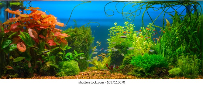 Underwater jungle in tropical fresh water aquarium with live dense red and green plants, different fishes and blue background