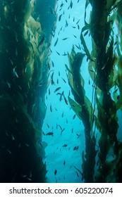 Underwater Kelp Forest