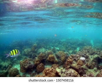 Underwater landscape with coral reef and tropical sergeant fish.