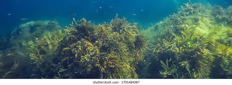underwater landscape reef with algae, sea north, view in the cold sea ecosystem