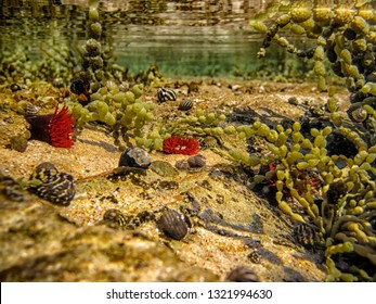 Underwater landscape of rock pool, with red Waratah Anemone, Actinia tenebrosa, Zebra Snails, Hormosira banksii, commonly known as Neptune's necklace.