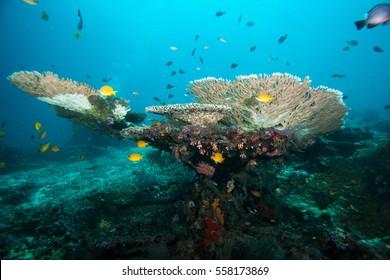 Underwater landscape. Sipadan island. Celebes sea. Malaysia.
