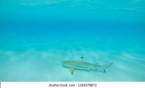 UNDERWATER: Large adult blacktip shark roaming around the vast turquoise ocean near tropical white sand beach. Stunning shot of big shark swimming in the tranquil exotic sea on a sunny summer day.