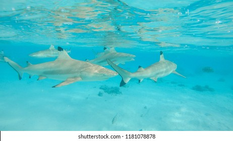 UNDERWATER: Large blacktip sharks roam around the shallow water near the sandy beach of an exotic island. Beautiful shot of harmless sharks swimming in their natural habitat. Stunning marine wildlife.