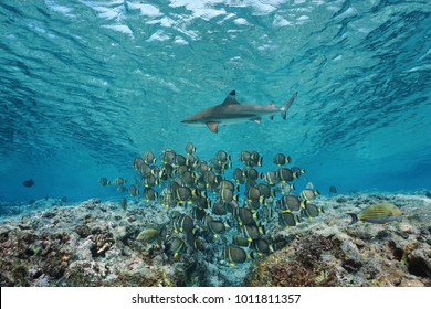 Underwater life a school of fish whitespotted surgeonfish with a blacktip reef shark, Pacific ocean, French Polynesia
