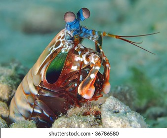 Underwater macro image of Peacock Mantis shrimp taken in Mabul, Malaysia.