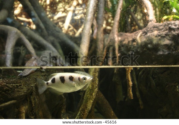 Underwater in mangrove forest with fish near surface