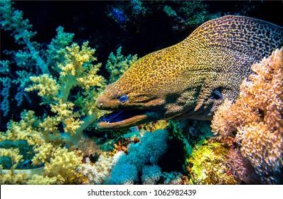 Underwater moray eel closeup. Muraena underwater scene. Moray eel macro underwater
