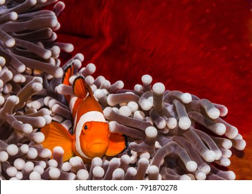Underwater nemo clown fish in anemone home on the coral reef in Bunaken National Park, Indonesia.