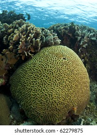 Underwater off the coast of Roatan Honduras with brain and lettuce corals