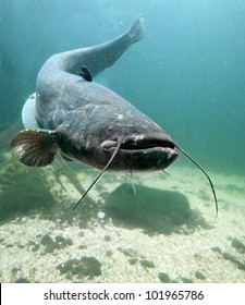 Underwater photo big Catfish (Silurus Glanis). Trophy fish in Hracholusky Lake - Czech Republic, Europe.