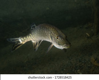 Underwater photo of the northern pike