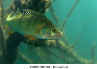 Underwater photo of Perca fluviatilis, commonly known as the common perch, European perch, in Soderica Lake, Croatia