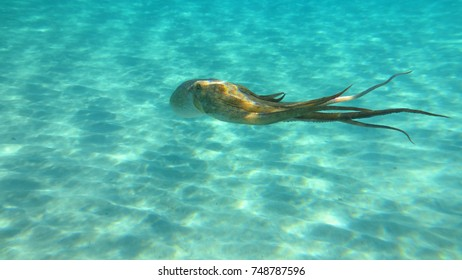 Underwater photo of small octopus in turquoise tropical clear waters