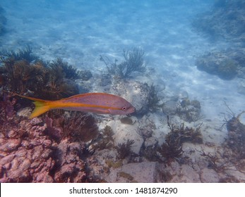 An underwater photo of a Yellowtail Snapper swimming among the rock and coral reefs.