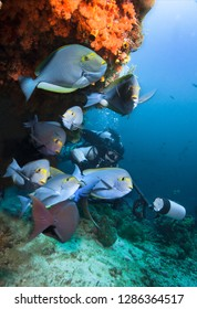 Underwater Photographer and group of Surgeonfish by coral reef..
